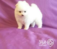 Beautiful and Amazing Pomeranian and Poodle